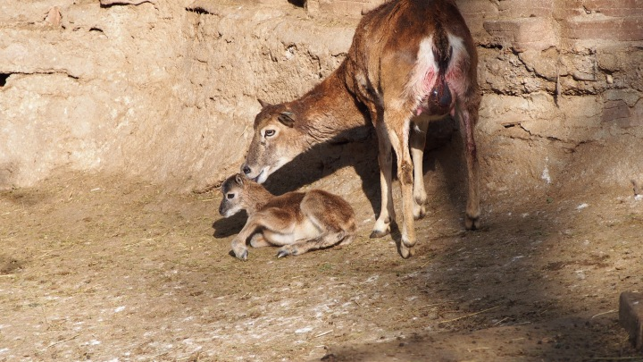 moments old baby mouflon, Barcelona Zoo