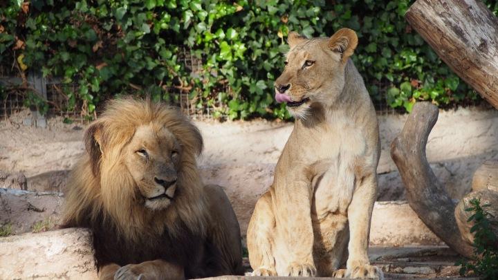 Lions Barcelona Zoo