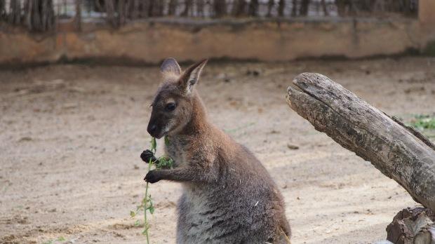Wallaby Barcelona Zoo