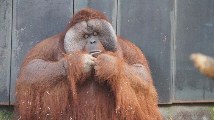 Big Daddy Orangutan Barcelona zoo