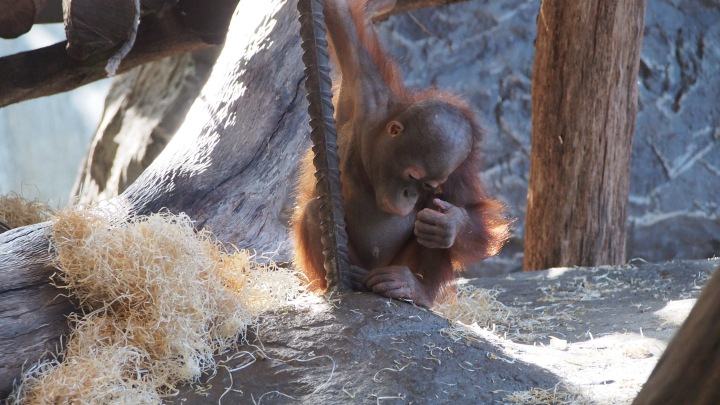'ittle Orangutan Barcelona Zoo