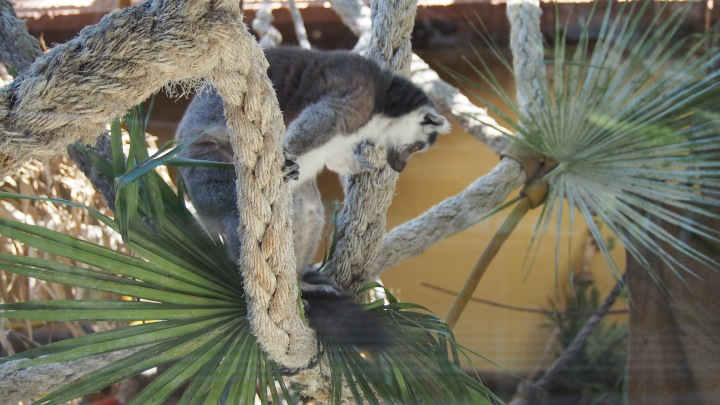 Ring Tailed Lemur Barcelona Zoo