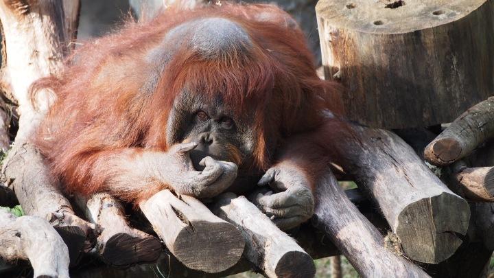 Orangutang Barcelona zoo