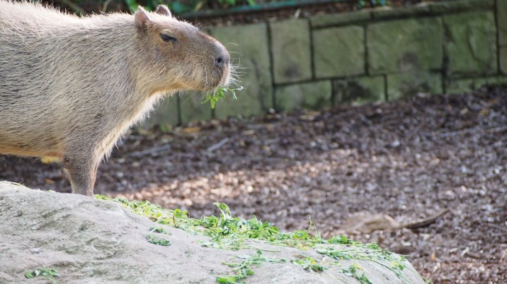 Capybara Barcelona Zoo