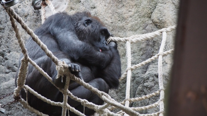 Gorilla Barcelona Zoo