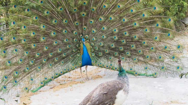 Peahen and Peacock, Barcelona Zoo