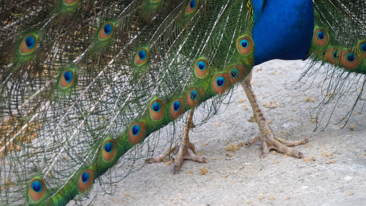 Peacock train trim Barcelona Zoo