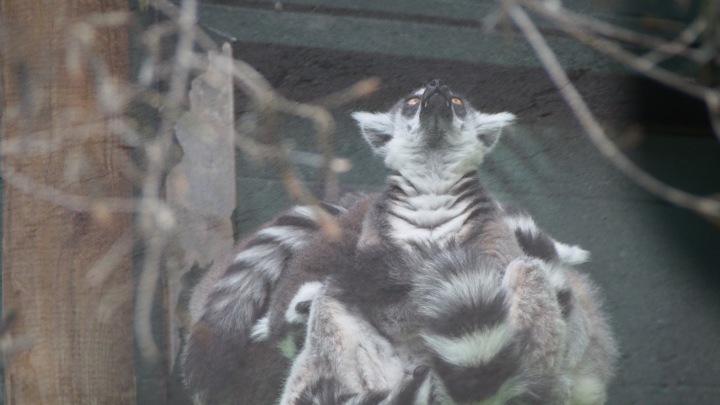 lemur teeth, Barcelona zoo