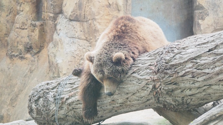 Bear chillin' Barcelona Zoo