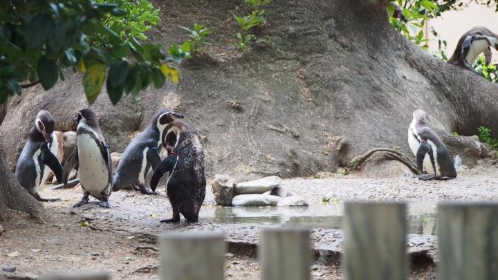 Penguins Barcelona Zoo