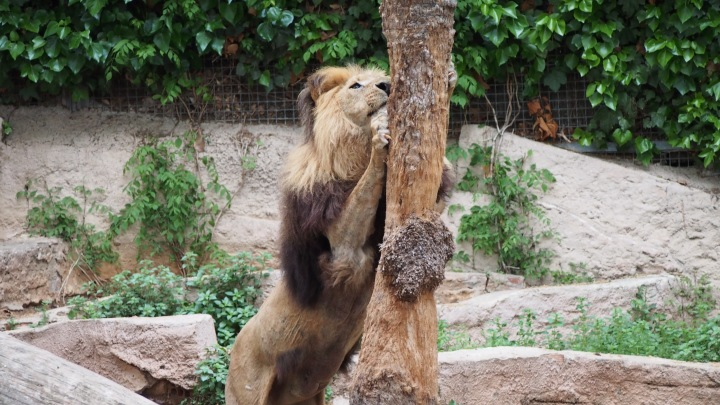 Ultimate cat scratcher! Lion Barcelona Zoo