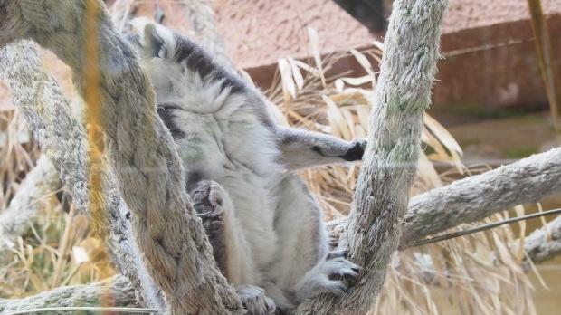 Ring tailed lemur, Barcelona Zoo