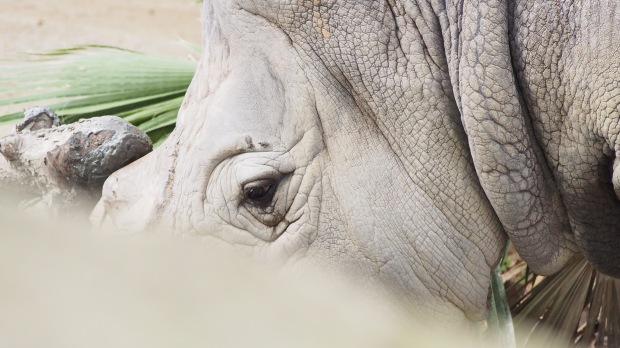 Rhino, Barcelona Zoo