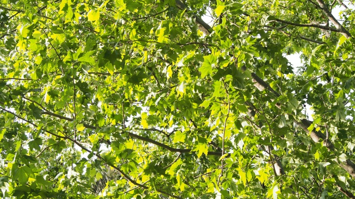 May Leaves